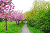 blossoming cherry trees 3