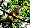 squirrel monkey2