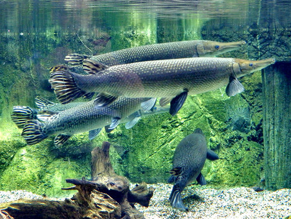Free stock photos rgbstock free stock images unusual for Freshwater gar fish