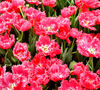 flower dome tulip display2