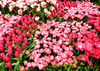 flower dome tulip display4