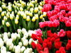 flower dome tulip display6