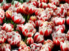 flower dome tulip display16