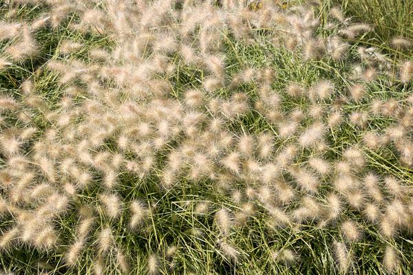 Stock de fotos gratis hierbas ornamentales micromoth for Hierbas ornamentales