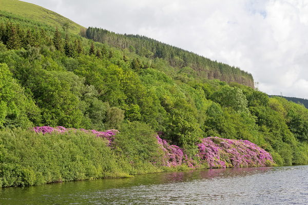 Woodland by water: Woodland on the bank of a reservoir in eastern Wales.