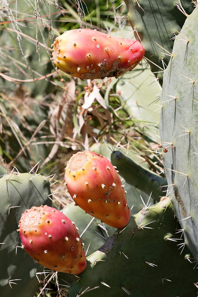 Prickly pear cactus: New growth on prickly pear (Opuntia) cactus.