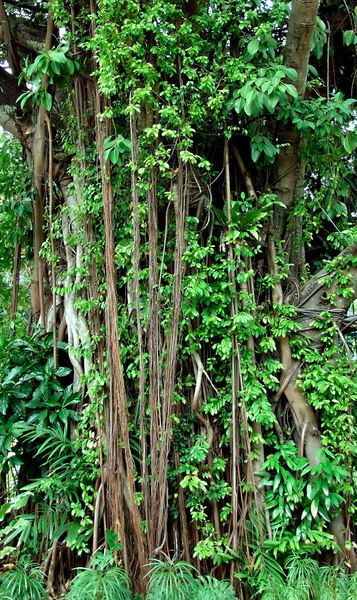banyan background1: intertwined banyan tree trunk and roots