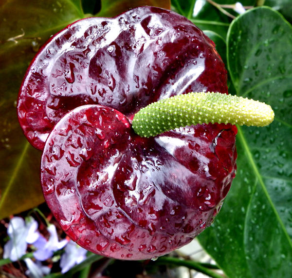 bright tail flowers9: glossy and distinctive tropical anthurium flowers companion flowers with other foliage & flowering plants