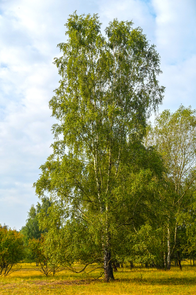 tall birch tree: tall birch tree
