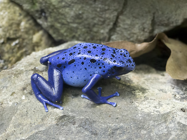 Blue poison dart frog: Blue poison dart frog (Dendrobates tinctorius, okopipi) in a zoo in England at which photography was freely permitted.