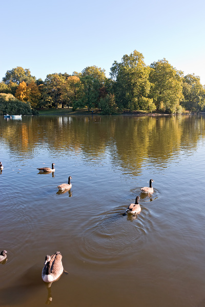 Park lake: Regent's Park lake, London, England, in early autumn.