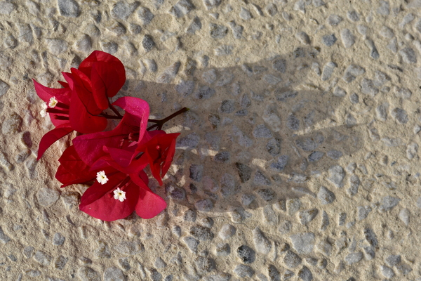 mpoukamvília red flowers: red mpoukamvília flowers on exposed gravel concrete surface. Aggregate surface with pattern
