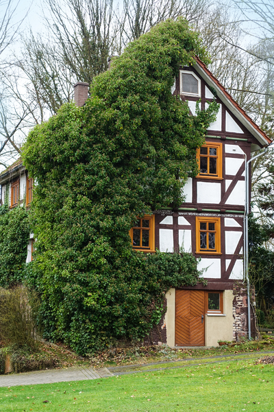 half-timbered house with ivy: half-timbered house with ivy