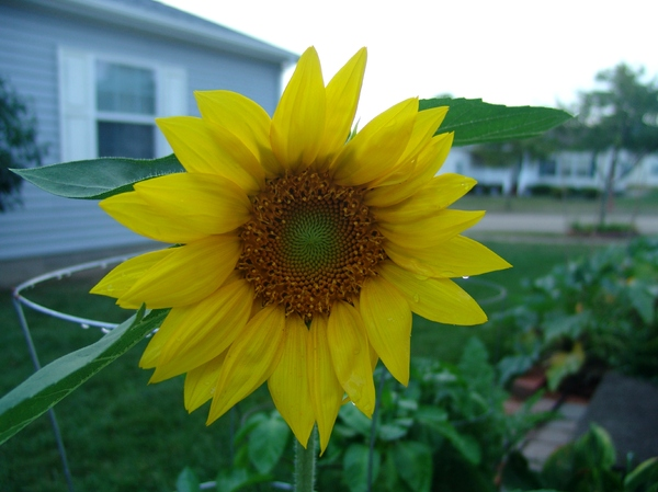 Sunflower Blooming: Sunflower blooming and the seeds are growing in the center of the plant.