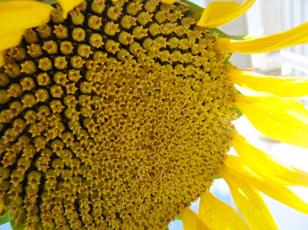 Sunflower Seeds: Sunflower with seeds drying on the flower. Late Summer