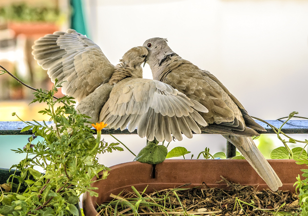 Turtledoves: Wild turtledoves.