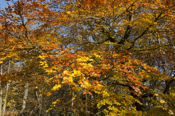 Autumn colour: Beech (Fagus) trees in West Sussex, England, in autumn.