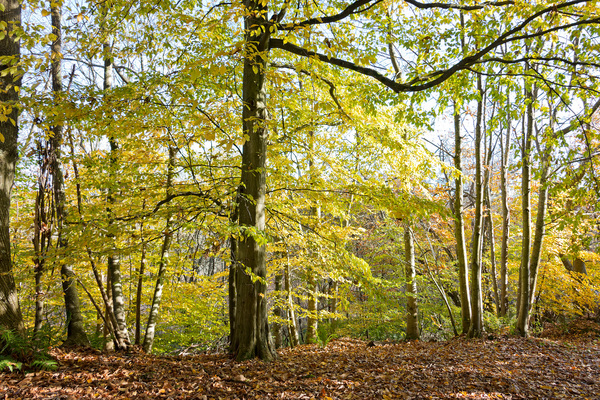 Autumn forest: Mixed deciduous trees in autumn in West Sussex, England.
