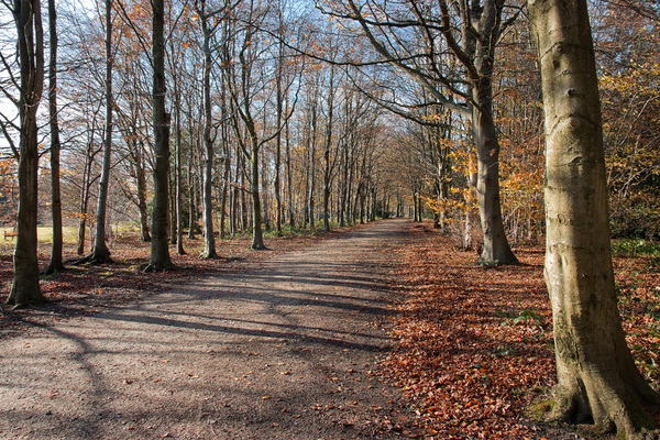 Autumn trail: A bridleway through beech (Fagus) woodland in Surrey, England, in autumn.