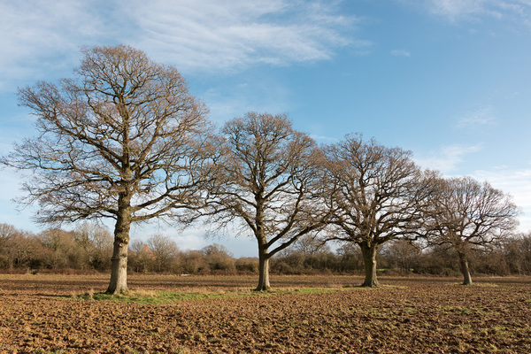 Winter trees: Oak trees in winter in West Sussex, England.