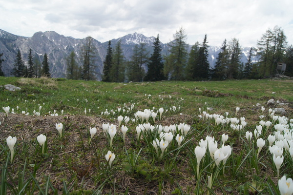 spring in Austria: nice tour with crocus field in Austrias mountains