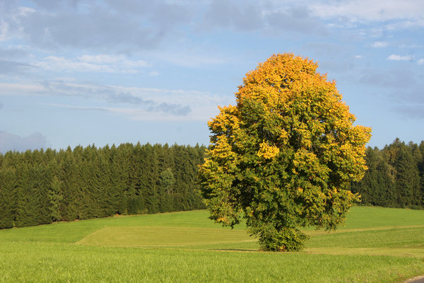 Autumn tree 2017_1: yellow tree in autumn in Austria