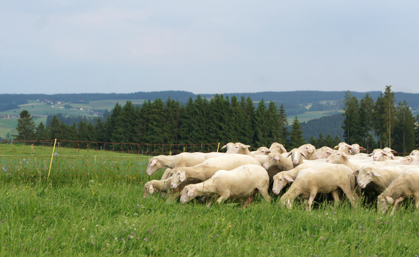 sheep flock 1: sheep flock in Austria