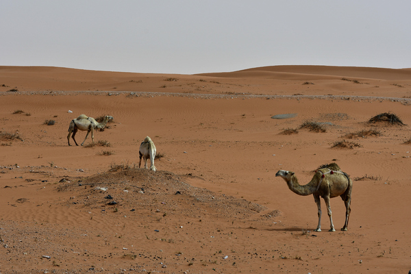 camelos encontrados no deserto: