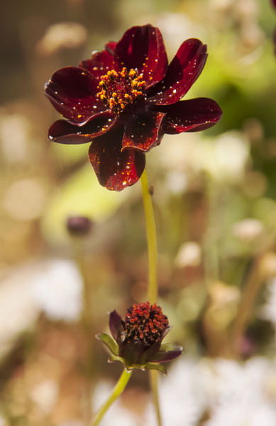 In My Garden 7: Chocolate cosmos (smells like chocolate too - yum).