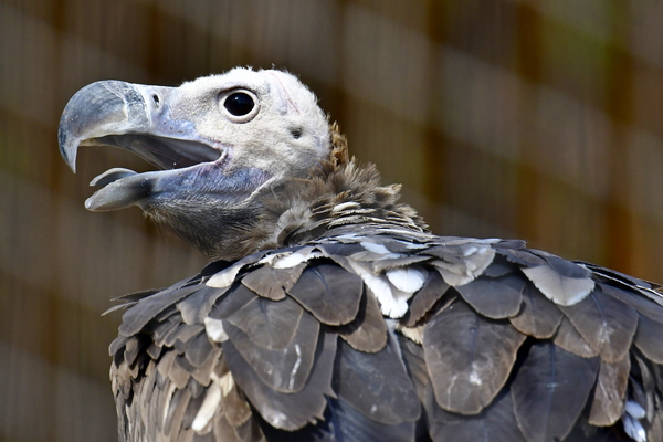vulture face: All of the New World vultures and some of the Old World vultures have bare heads, a condition that prevents feathers from matting with blood when the birds reach inside carcasses. Most vultures have a large pouch in the throat (crop) and can go for long p