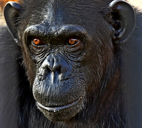 The Chimpanzee: Closely linked by DNA, chimpanzees (Pan troglodytes) are one of the four species of great apes that are the closest living relatives of humans – the other two being gorillas and orangutans. Great apes are different from monkeys for a variety of reasons: