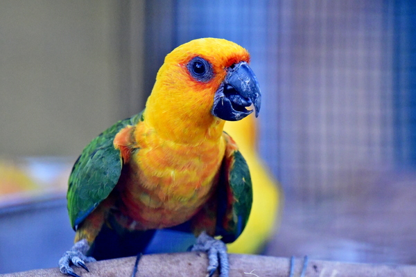 The Sun Parakeet or Sun Conure: The sun parakeet or sun conure is a medium-sized brightly colored parrot native to northeastern South America. The adult male and female are similar in appearance, with predominantly golden-yellow plumage and orange-flushed underparts and face.