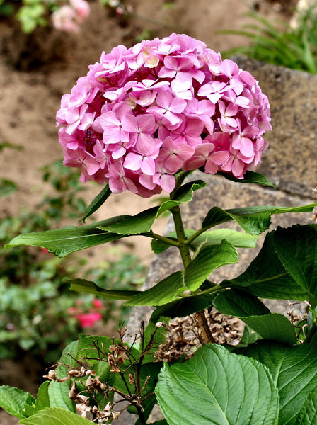 hydrangeas in the garden3: large heads of hydrangea flower petals