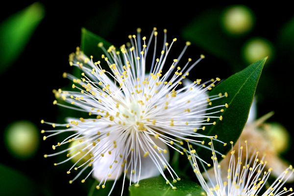 white stamen spray2: flowering varieties with large number of stamens