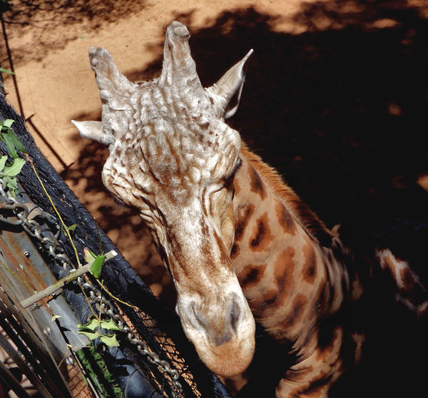 near the tree tops3: leaf browsing rothschild's giraffe in zoo