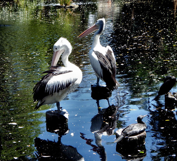 pelican rest4: Australian pelicans resting, stretching & reflections