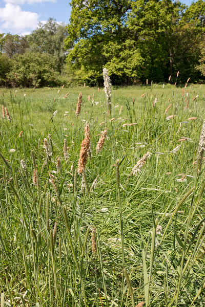 Meadow grasses: Meadow grasses in Hampshire, England, in spring.
