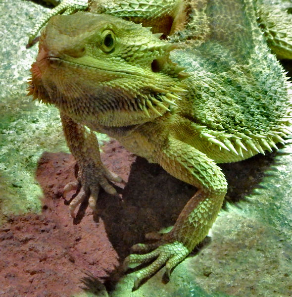 bearded dragon4: Australian bearded dragon lizard under artificial night lighting