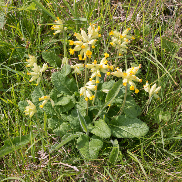 Wild spring flowers: Wild cowslips (Primula veris) on the coast of Cornwall, England, in May.