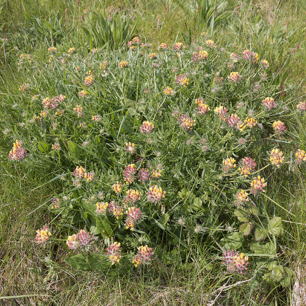 Wild spring flowers: Wild kidney vetch (Anthyllis vulneraria) on the coast of Cornwall, England, in May.