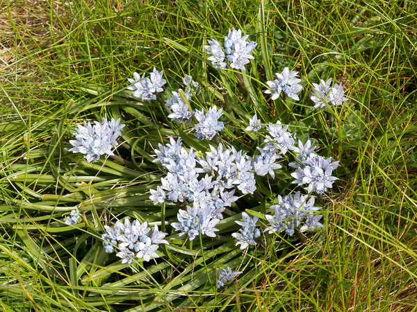 Spring squill flowers: Wild spring squill (Scilla verna) in flower on cliff tops in  Cornwall, England.