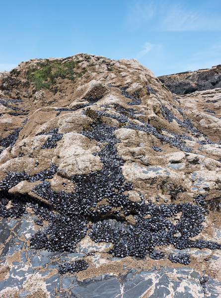 Mussels and barnacles: Mussels (Mytilus) and barnacles (Cirripedia) on rocks exposed at low tide on the coast of Cornwall, England.