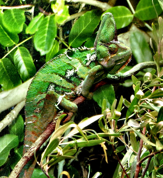chameleon camouflage1: bright green patchy camouflaged veiled-chameleon