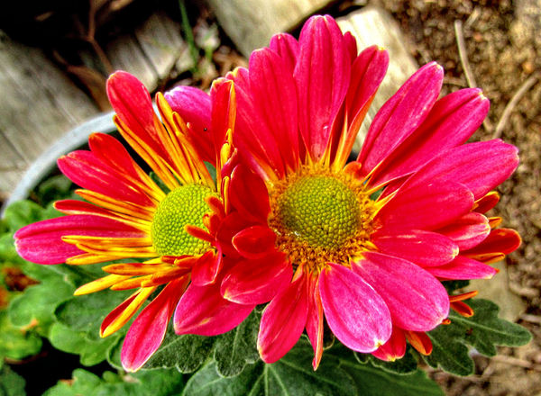 radiating colored petals: brilliant red & gold of a potted miniature chrysanthemum