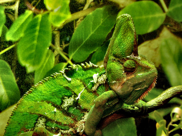 chameleon camouflage4: bright green patchy camouflaged veiled-chameleon