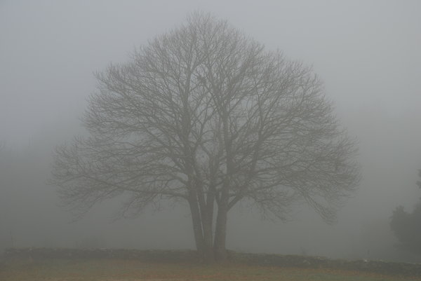 Foggy tree: Foggy tree