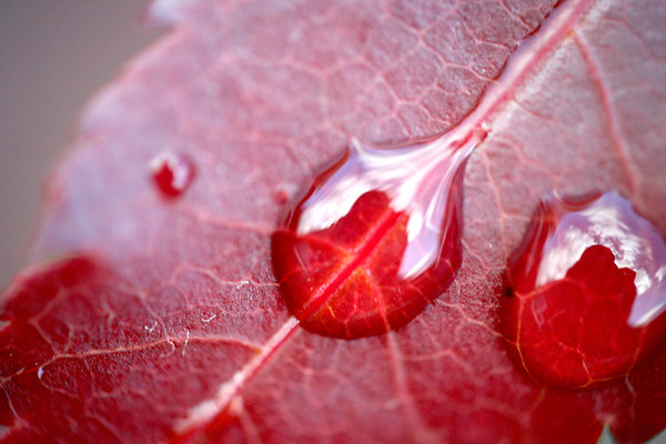 Blood Drops: Another water-on-a-leaf photo, but I like em :D