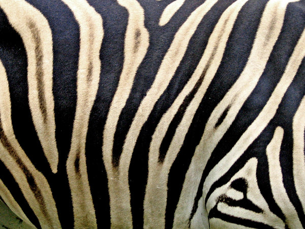 zebra: details of a zebra in the zoo of Rheine, germany