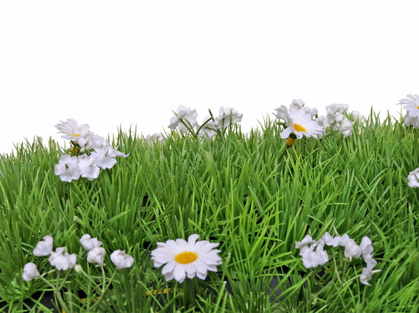 flowers: daisies on a white background