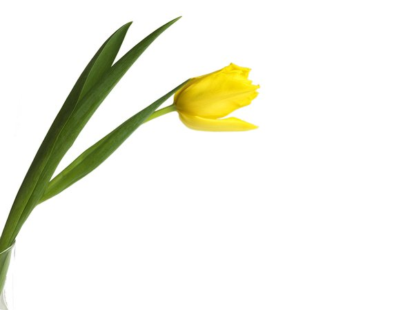 yellow tulip: yellow tulip